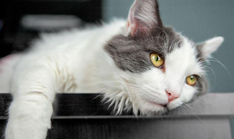 猫传腹的症状有哪些