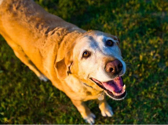 饲养老年犬的注意事项