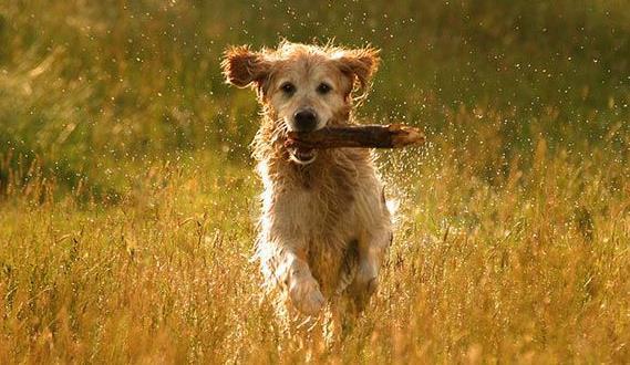 狗狗每年都需要打狂犬疫苗吗