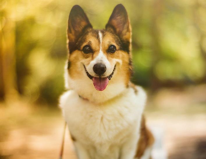 狗狗胃扭转是什么原因