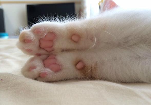 猫咪脚垫脱皮是怎么回事