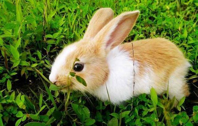 兔子中暑的症状有哪些