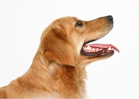 狗狗快速喘气怎么回事