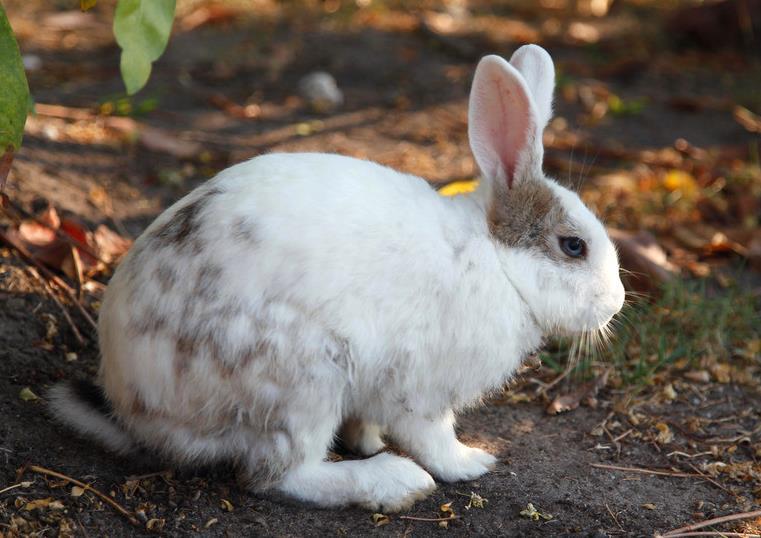 兔子能吃韭菜吗