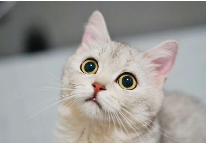 猫咪吃东西不咀嚼有关系吗