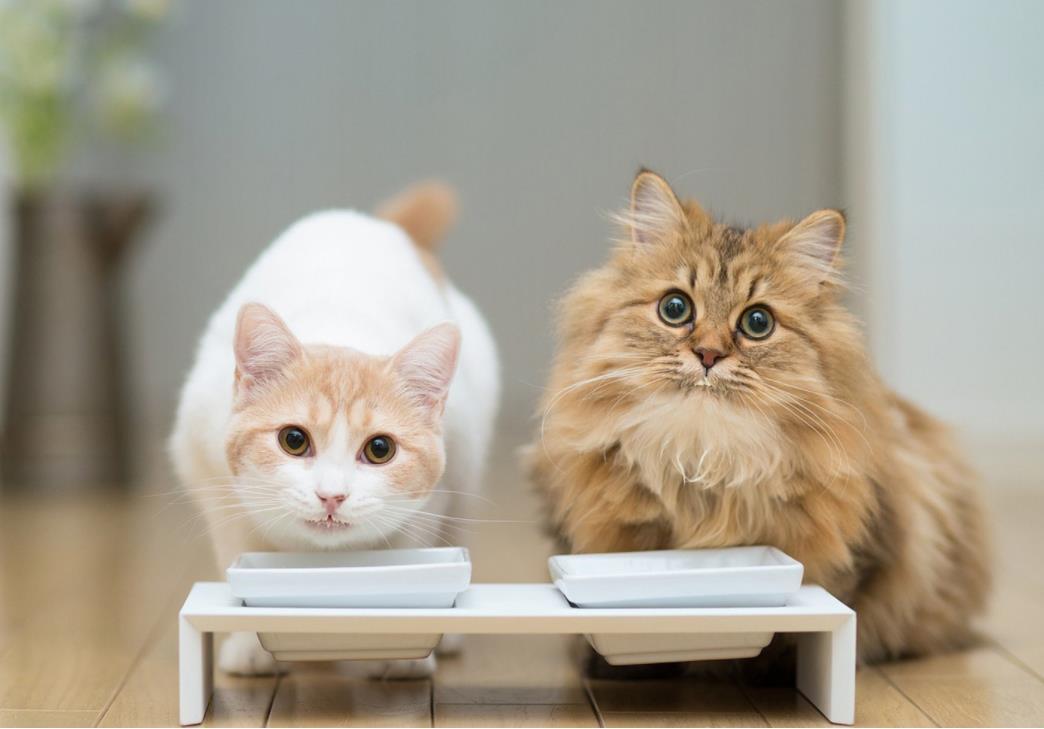 猫瘟如何护理
