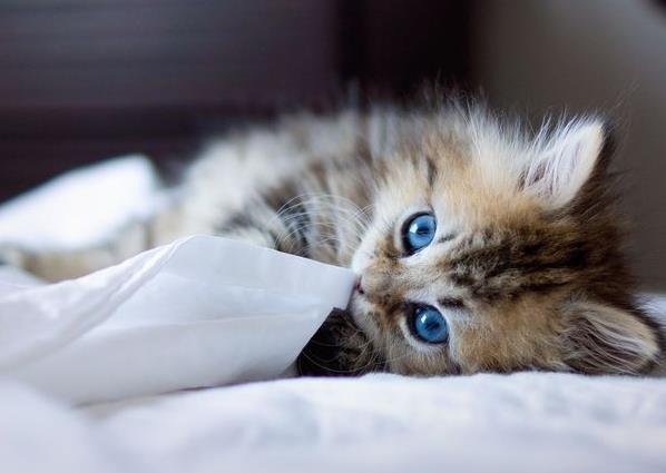 关于猫瘟病毒感染