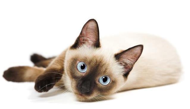 暹罗猫鼻子干是什么原因