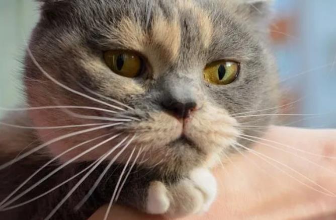 猫咪斗鸡眼怎么形成的