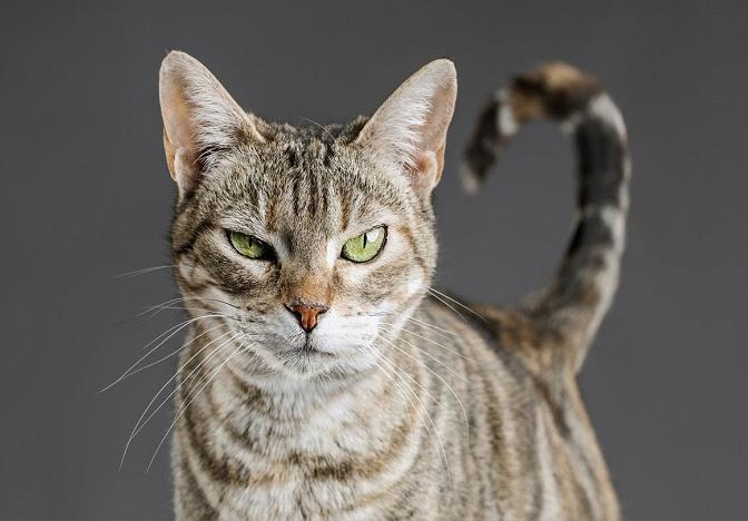 哺乳期的猫咪能驱虫吗