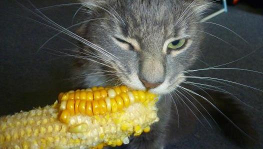 猫咪可以吃玉米吗