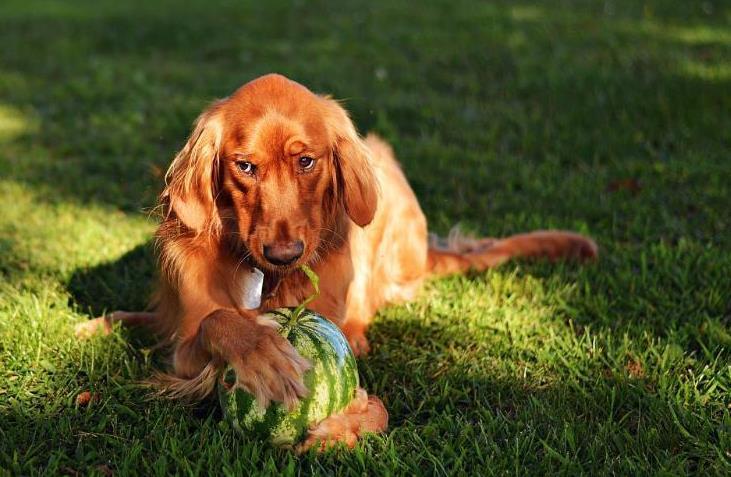 狗能吃什么水果