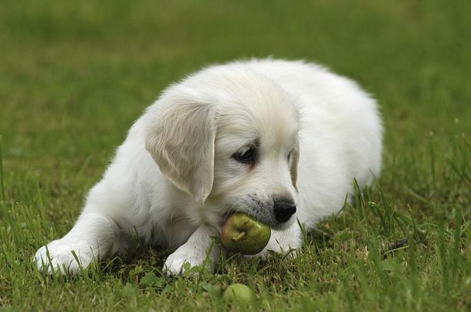 狗能吃樱桃果肉吗
