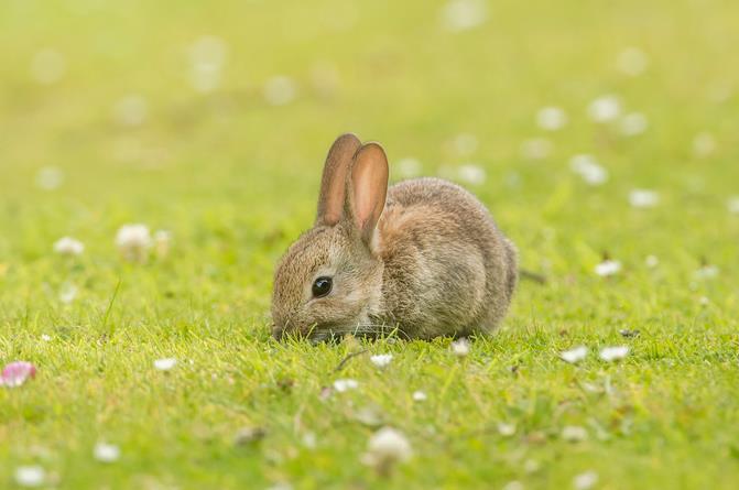 人工饲养幼兔喝什么奶