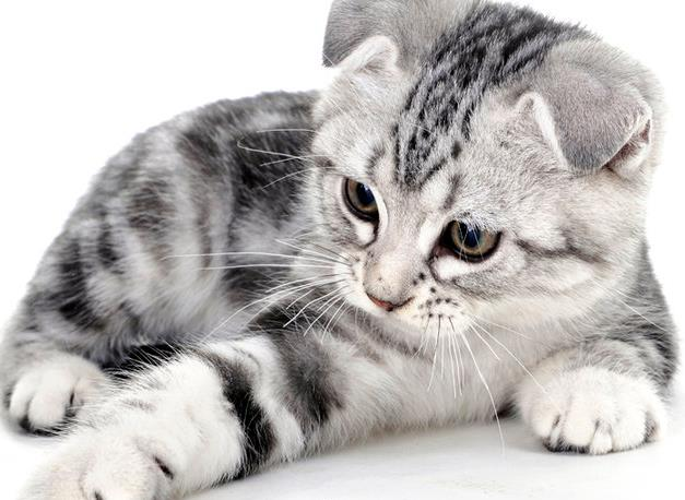 猫咪嗜血支原体是怎么回事