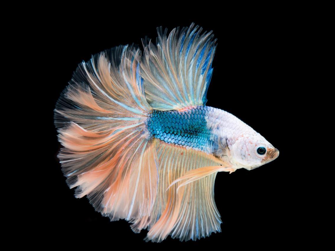 孔雀鱼多大能繁殖