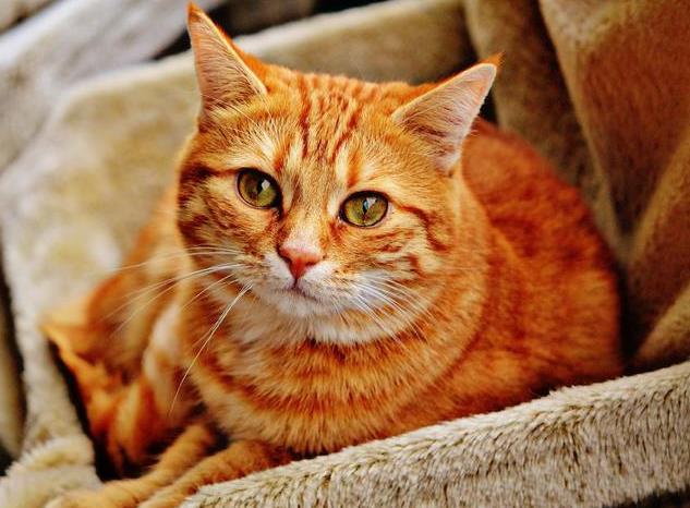 猫咪嗜酸性肉芽肿怎么回事