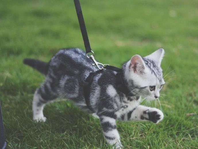 养猫能不能带出去遛